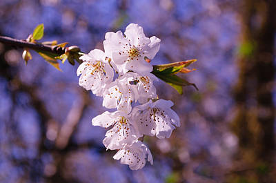 Photograph - Spring Blossoms by Tikvah's Hope
