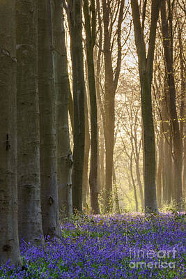 Contre-jour Photograph - Spring Bluebells by Richard Thomas