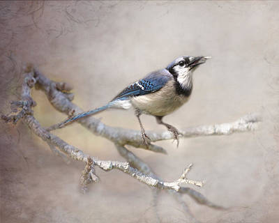 Photograph - Spring Bluejay by TnBackroadsPhotos