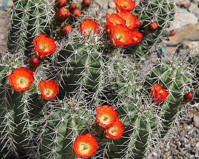 Photograph - Spring Cactus by Kathy Bassett