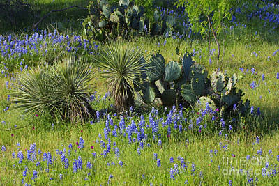 Spring Cactus, Yucca And Blue Bonnets Original by Linda Phelps