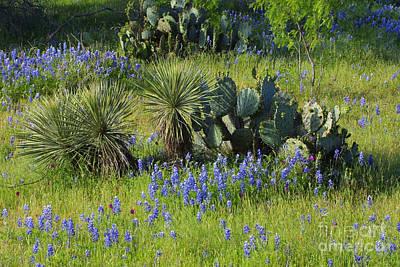 Spring Cactus, Yucca And Blue Bonnets Original