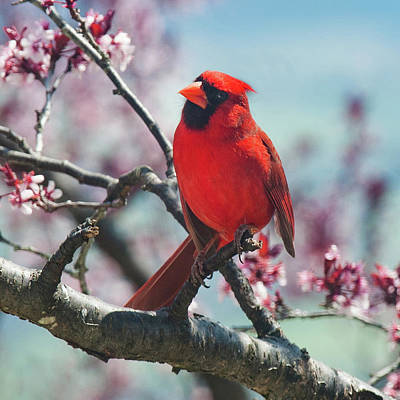 Photograph - Spring Cardinal 1 by Lara Ellis