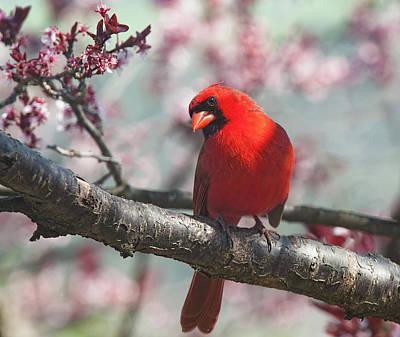 Photograph - Spring Cardinal 2 Horizontal Crop by Lara Ellis