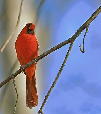 Photograph - Spring Cardinal by Gwendolyn Christopher