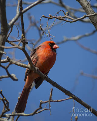 Photograph - Spring Cardinal II by Lili Feinstein