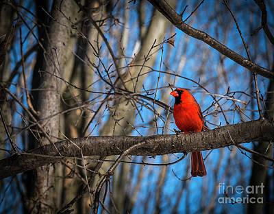 Photograph - Spring Cardinal by Joann Long