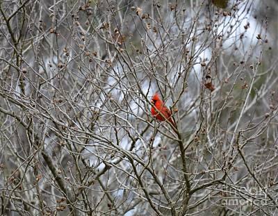 Photograph - Spring Cardinal by Maria Urso