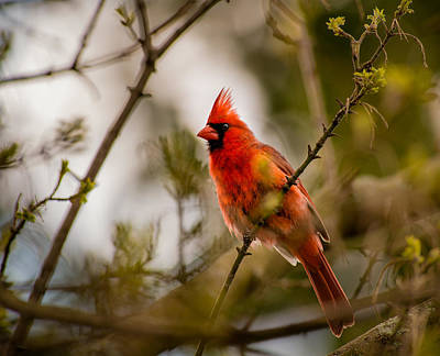 Photograph - Spring Cardinal by Onyonet  Photo Studios