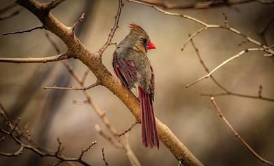 Photograph - Spring Cardinal by Ray Congrove