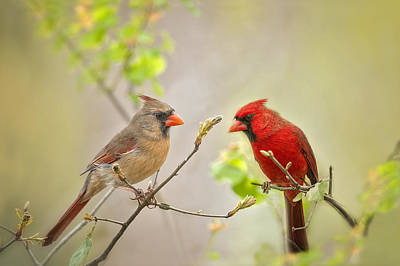 Red Photograph - Spring Cardinals by Bonnie Barry