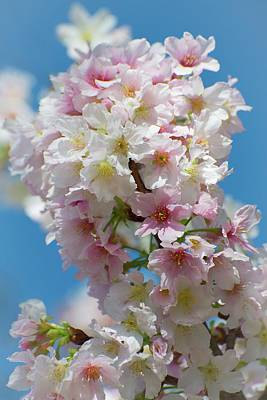 Photograph - Spring Cherry Blossom Jubilee by Lynn Bauer