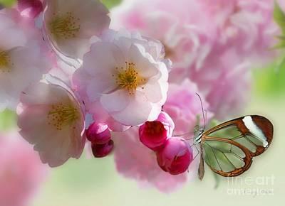 Photograph - Spring Cherry Blossom by Morag Bates