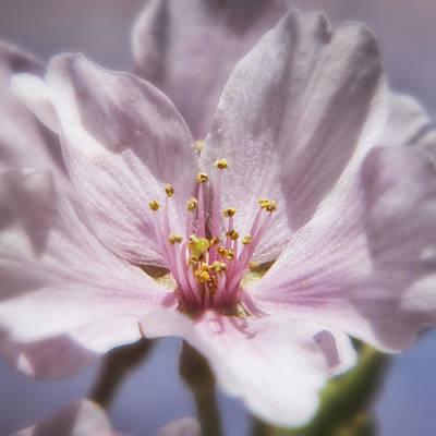 Spring Cherry Blossom Original