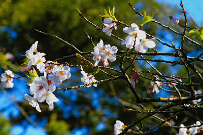 Photograph - Spring Cherry Blossoms 1 by Bonnie Follett