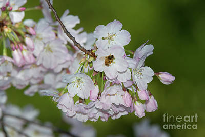 Photograph - Spring Cherry Blossoms And Bee by Glenn Franco Simmons