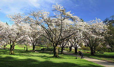 Spring Cherry Blossoms In Stanley Park Vancouver  Art Print by Pierre Leclerc Photography