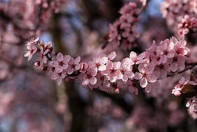 Photograph - Spring Cherry Blossoms by Lynn Hopwood