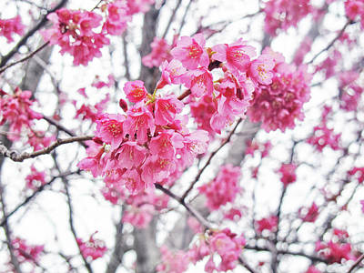 Photograph - Spring Cherry Blossoms by Ruth Jolly