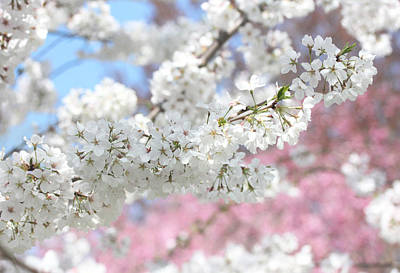 Photograph - Spring Cherry Blossoms by Trina Ansel