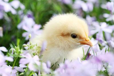 Spring Chick Art Print by Stephanie Frey