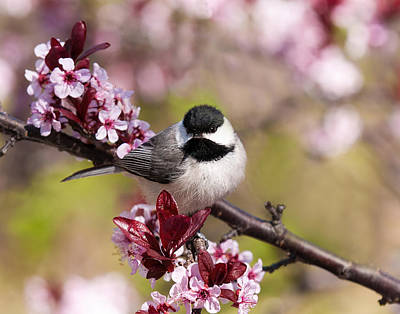 Photograph - Spring Chickadee  by Lara Ellis