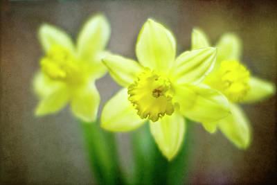Daffodil Photograph - Spring Chorus by Rebecca Cozart