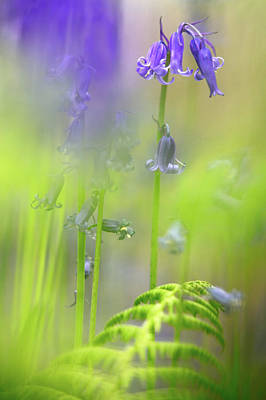 Photograph - Spring Colors - Bluebell Wild Flowers by Dirk Ercken