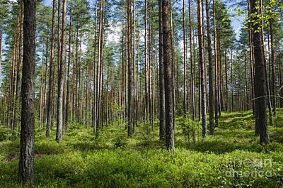 Photograph - Spring Colors In A Coniferous Forest by Kennerth and Birgitta Kullman