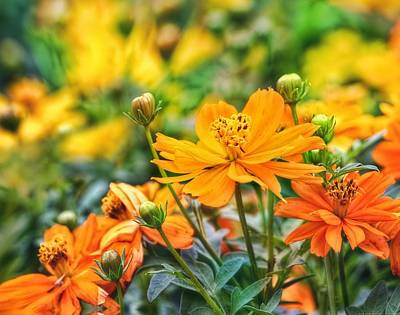 Yellow And Orange Sunflower Photograph - Spring Cosmos by Chrystyne Novack