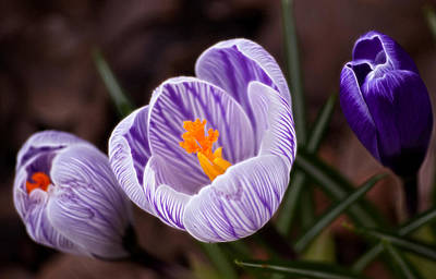 Photograph - Spring Crocus by Cameron Wood