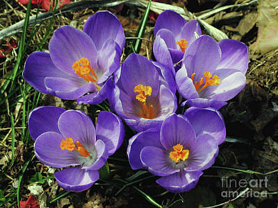 Photograph - Spring Crocus Flowers by Carol F Austin