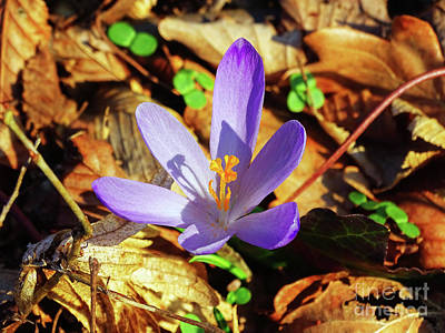 Photograph - Spring Crocus by Jasna Dragun
