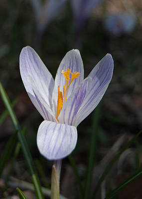 Photograph - Spring Crocus by Tom Potter