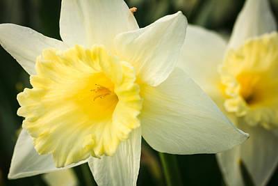 Photograph - Spring Daffodils by Joni Eskridge
