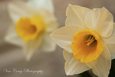 Photograph - Spring Daffodils by Van Corey
