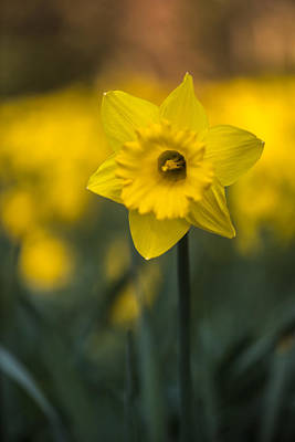 Photograph - Spring Daffoldil by Matt Malloy