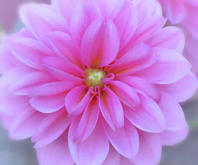 Photograph - Spring Dahlia by MTBobbins Photography