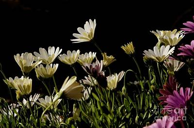 Photograph - Spring Daisies by Sean Griffin