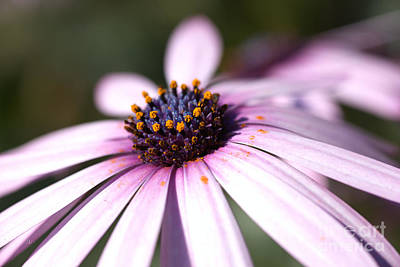 Photograph - Spring Daisy Time  by Joy Watson