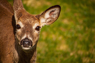 Photograph - Spring Deer by Karol Livote