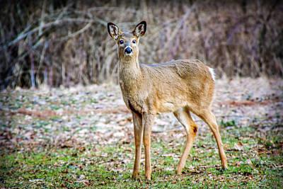 Photograph - Spring Deer by LeeAnn McLaneGoetz McLaneGoetzStudioLLCcom