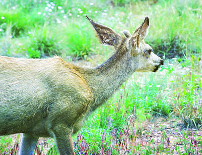 Photograph - Spring Deer by Natalie Rotman Cote