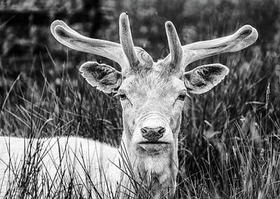 Photograph - Spring Deer by Nick Bywater