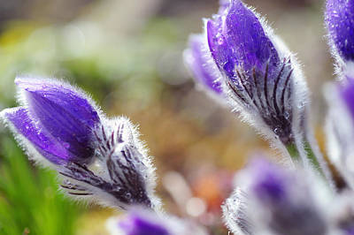 Pulsatilla Photograph - Spring Delicacy by Jenny Rainbow