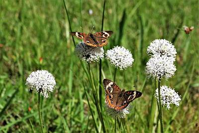Photograph - Spring Delight Butterflies by Sheila Brown
