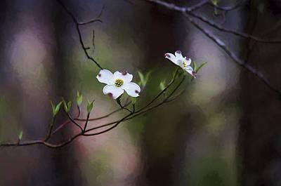 Spring Dogwood Blooms Art Print by Darren Fisher