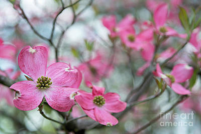 Photograph - Spring Dogwood - D010371 by Daniel Dempster