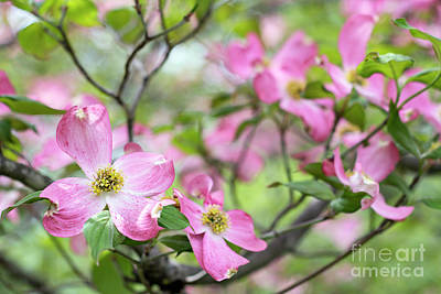 Photograph - Spring Dogwood - D010378 by Daniel Dempster