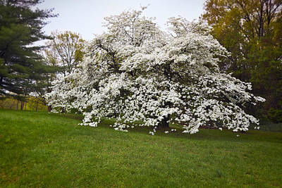 Cornus Photograph - Spring Dogwood by Susan Isakson